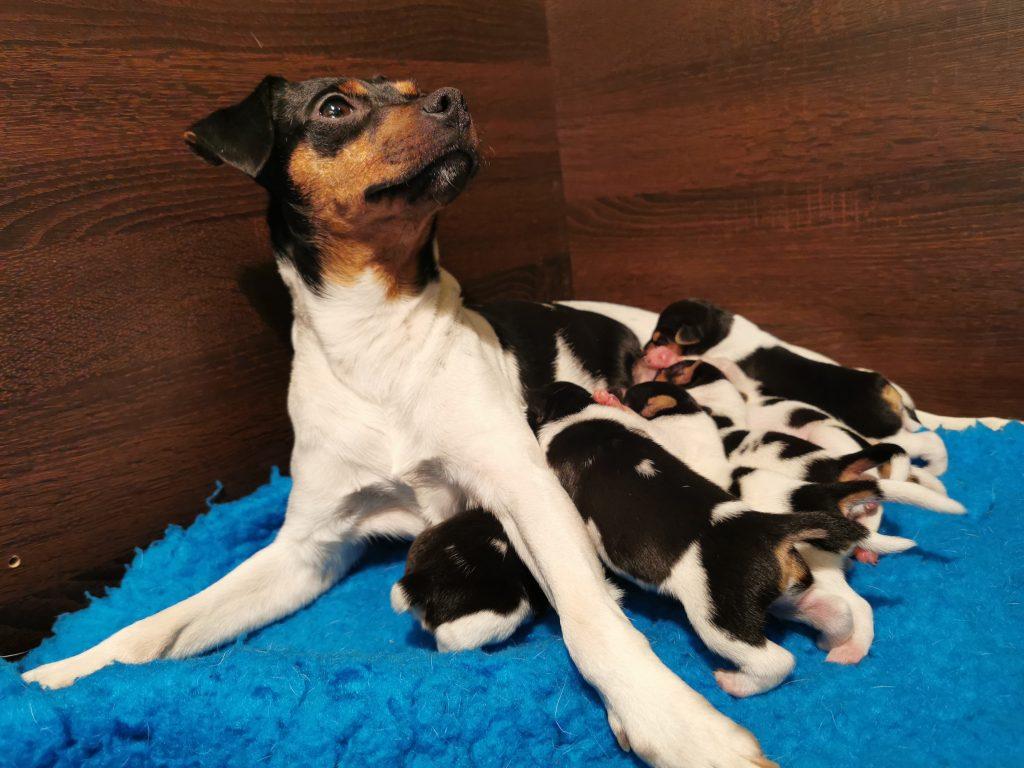 terrer brasileiro puppy